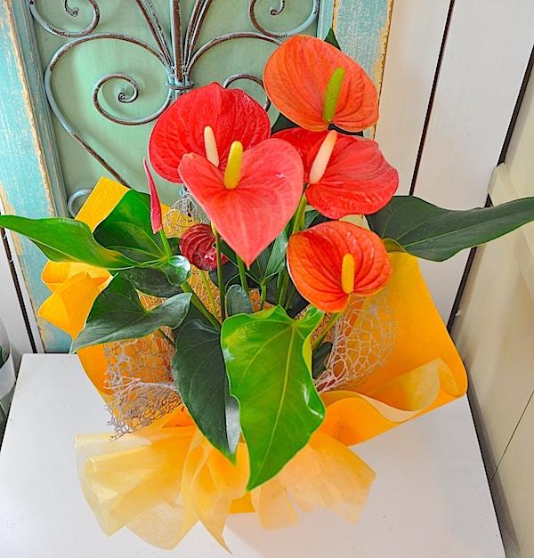 敬老の日ギフトアンスリューム花鉢