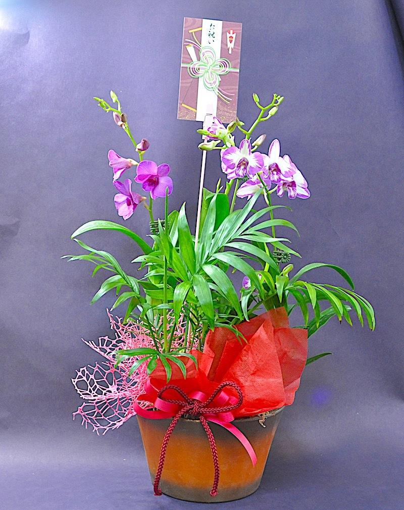 敬老の日ミニデンファレ花鉢ギフト