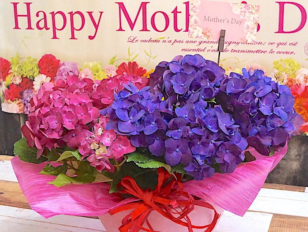 紫陽花(あじさい) 2ヶセット寄せ植え [母の日]