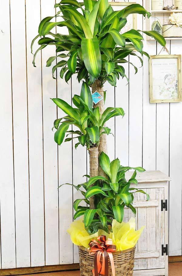 観葉植物 マッサン(幸福の木)