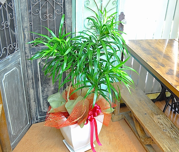 観葉植物 リフレクサー