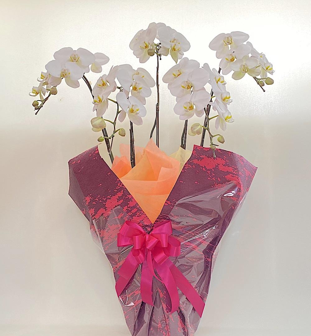 胡蝶蘭 5本立ち Lサイズ ピンク