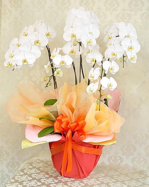 胡蝶蘭5本立ち LLサイズ 白