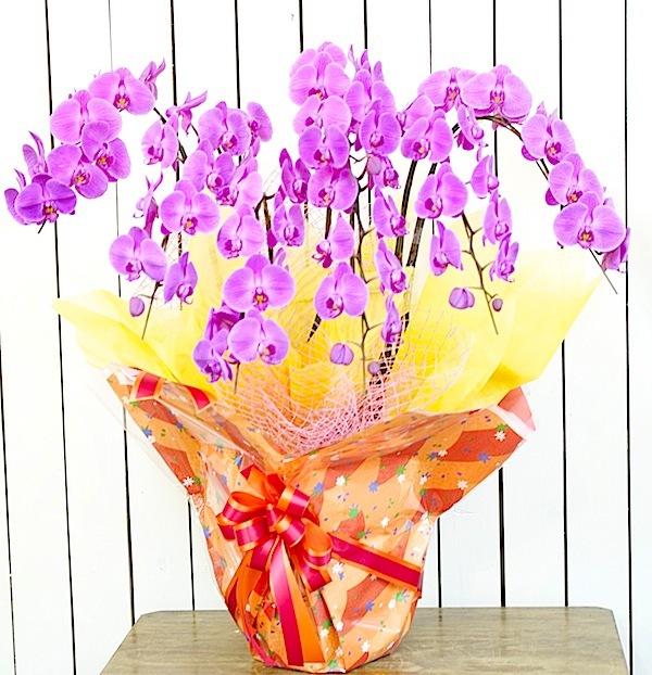 胡蝶蘭 5本立 LLサイズ ピンク