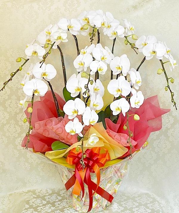 贈答品高級胡蝶蘭 8本立ち白