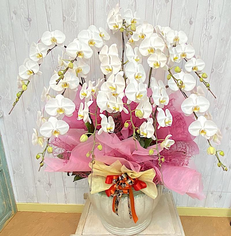 開店・開業祝い華やかな胡蝶蘭