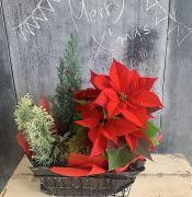 クリスマス ポインセチアセット